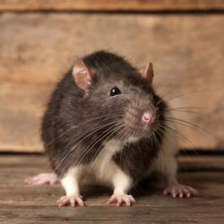 Residential Pest and Rodent Control
